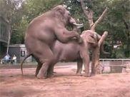 大象交配视频,最后高潮部分游客看后都笑了,搞笑动物视频!